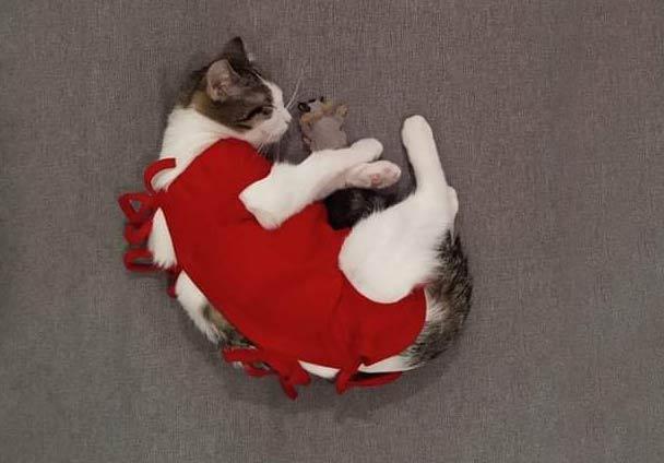 kot po kastracji w ubranku ochronnym