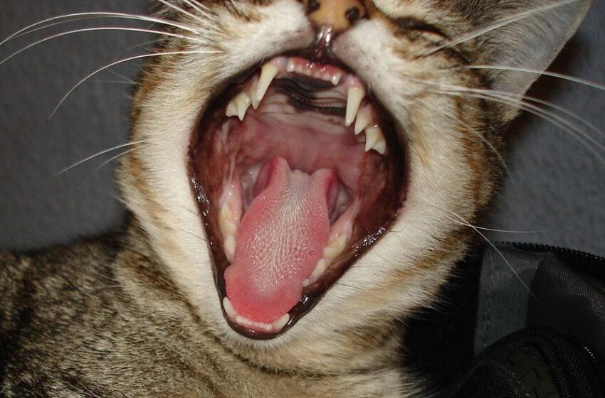 Choroby przyzębia i dziąseł u kotów