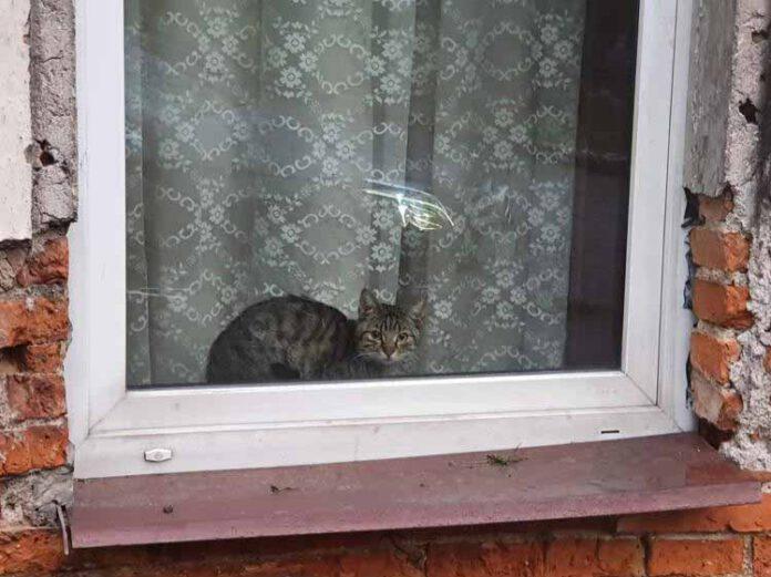Kot Jawor