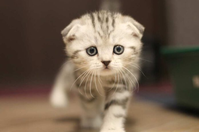 Koty z oklapnietymi uszami