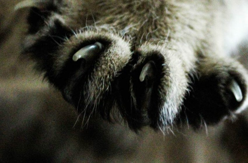 Usuwanie pazurów u kota